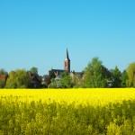 Rapsfeld-mit-Kirche